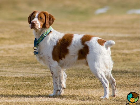 Brittany Spaniel Dog Breed Ukpets