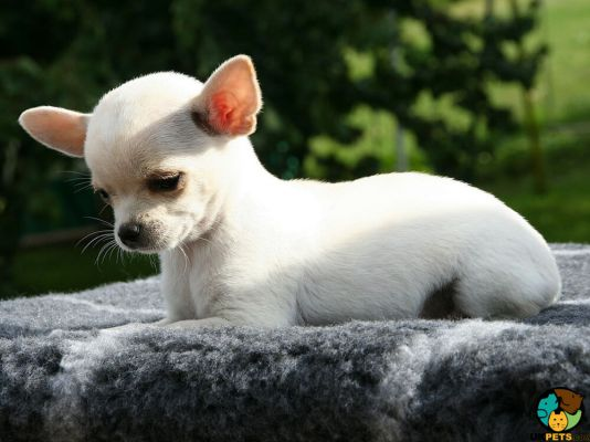 Chihuahua in Great Britain