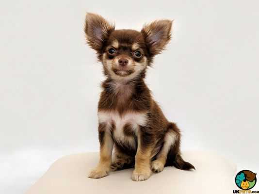 Chihuahua in the UK