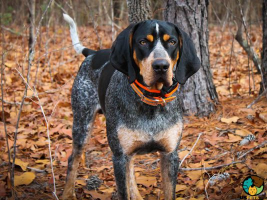 Coonhounds in the UK