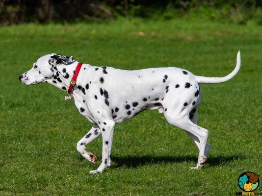 Dalmatians in the UK