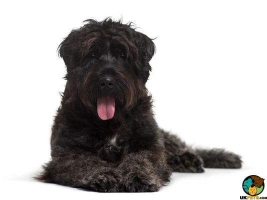 Bouvier Des Flandreses in Great Britain