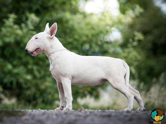 English Bull Terriers in the UK