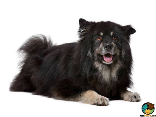 Finnish Lapphunds in Great Britain