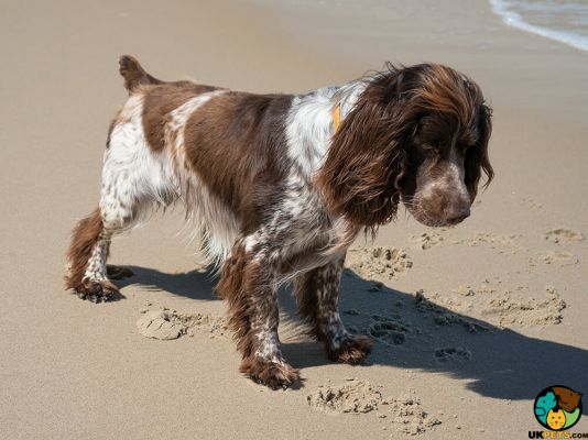 French Spaniels in Great Britain