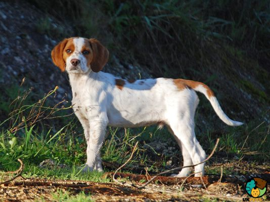 French Spaniel in Great Britain