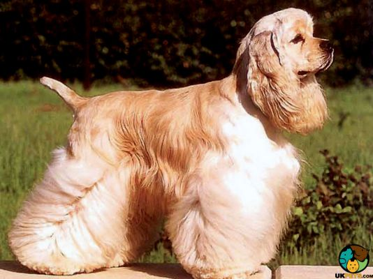 American Cocker Spaniel in Great Britain