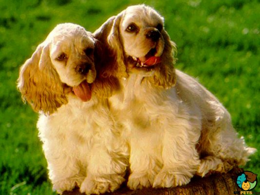 American Cocker Spaniels in Great Britain