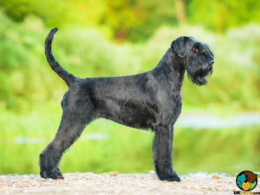 Giant Schnauzer in Great Britain