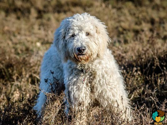Goldendoodle in the UK