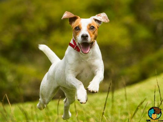Jack Russell in the UK