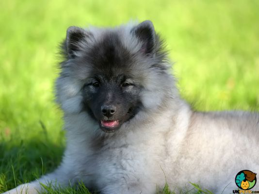 Keeshond in Great Britain