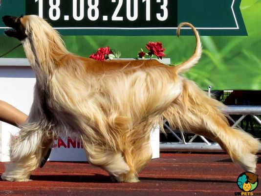 Afghan Hound in Great Britain