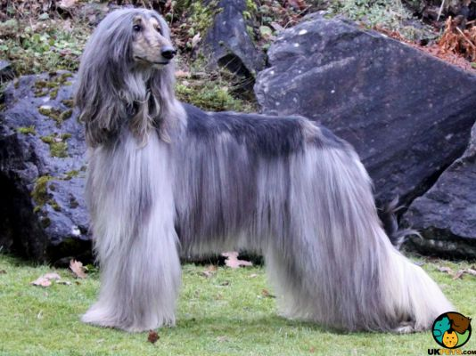 Afghan Hounds in the UK