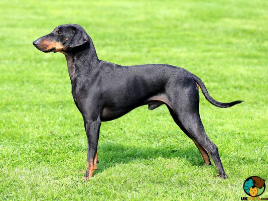 Manchester Terriers in the UK