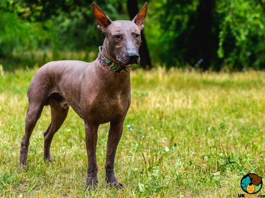 Mexican Hairless Puppies