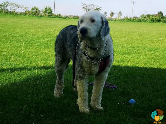 Old English Sheepdog in Great Britain