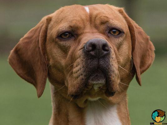 Portuguese Pointer Dogs