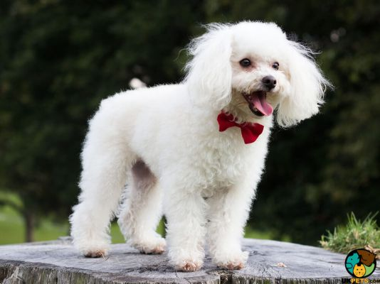 Poodles in the UK