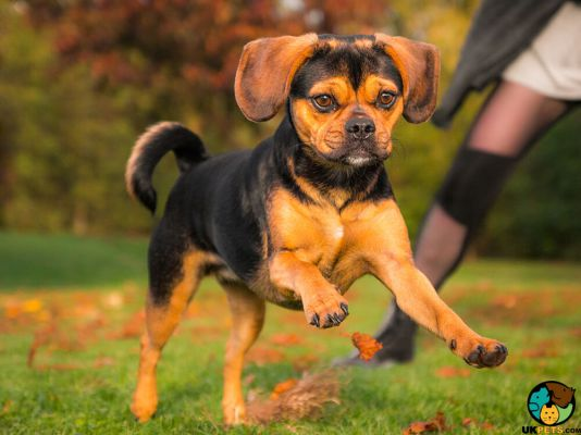 Puggle in the UK