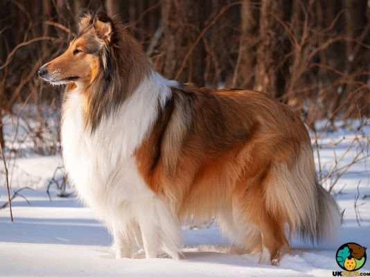 Rough Collie in Great Britain