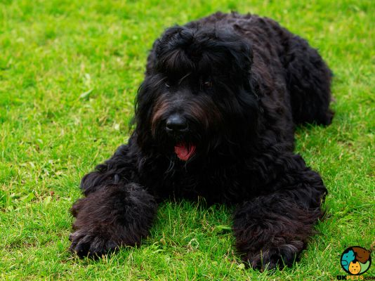 Russian Black Terriers in the UK