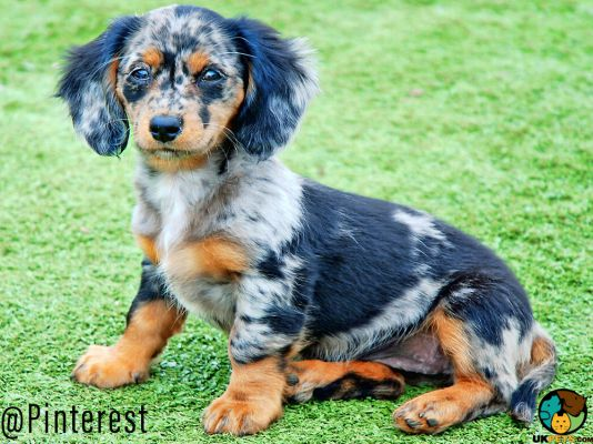 Doxiepoo Dogs