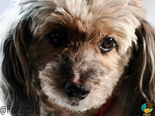 Doxiepoo Dog