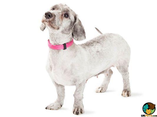 Doxiepoo Puppies