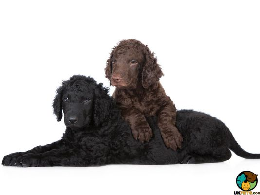 Curly Coated Retrievers in Great Britain