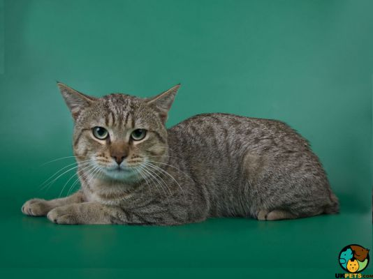 American Bobtail in the UK