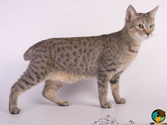 American Bobtails in the UK