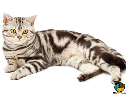 American Shorthair in Great Britain