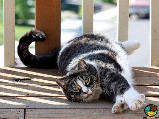 American Shorthairs in Great Britain