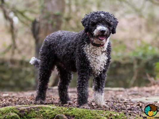 Spanish Water Dogs in Great Britain
