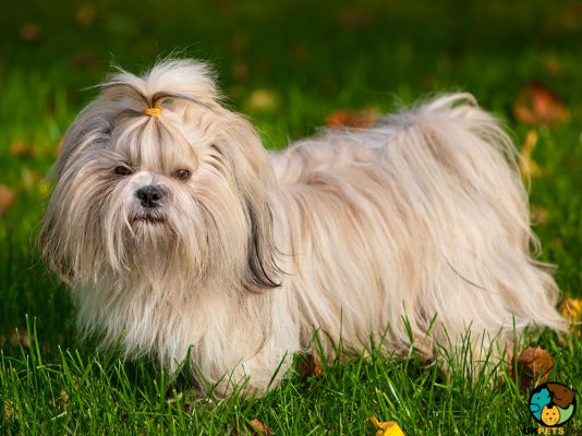Shih Tzus in the UK