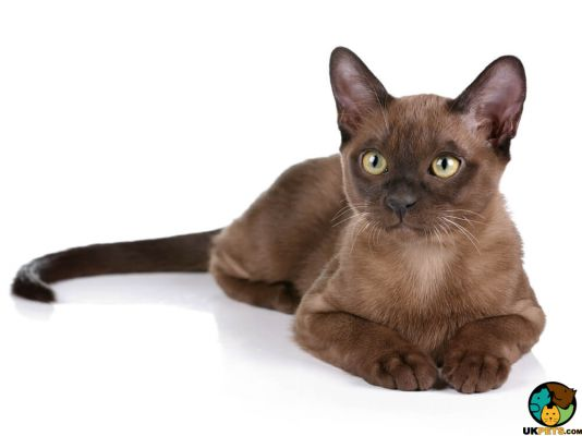 Burmese Cats And Kittens For Sale In The Uk Uk Pets