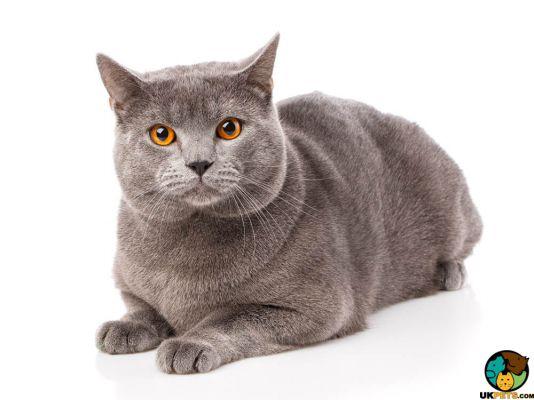 Chartreux Cats