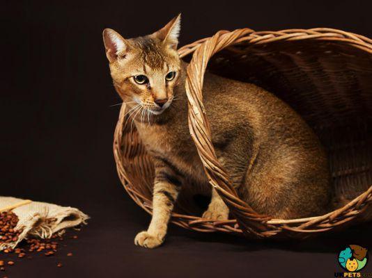 Chausie Kitten