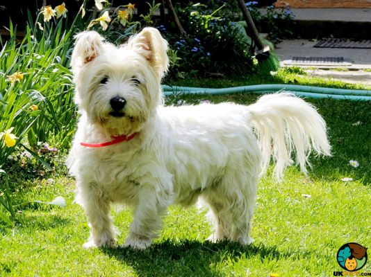 West Highland Terrier Dogs