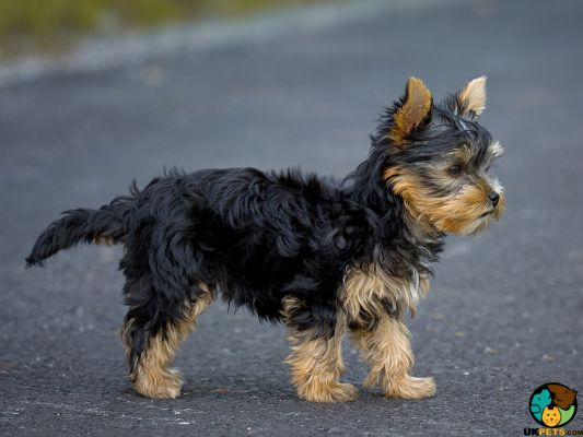 Yorkshire Terriers in the UK