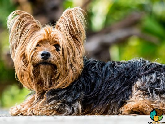 Yorkshire Terrier in the UK