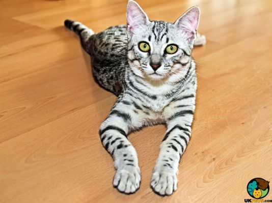 Egyptian Mau in Great Britain