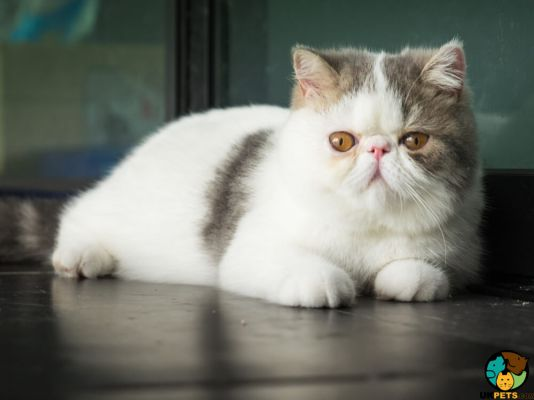 Exotic Shorthair Cats And Kittens For Sale In The Uk