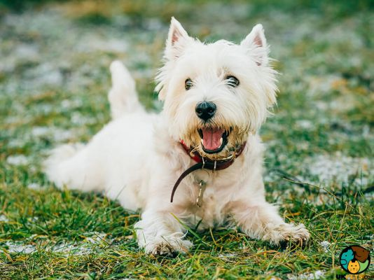 West Highland Terrier in the UK
