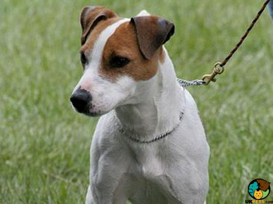 Jack Russells in the UK
