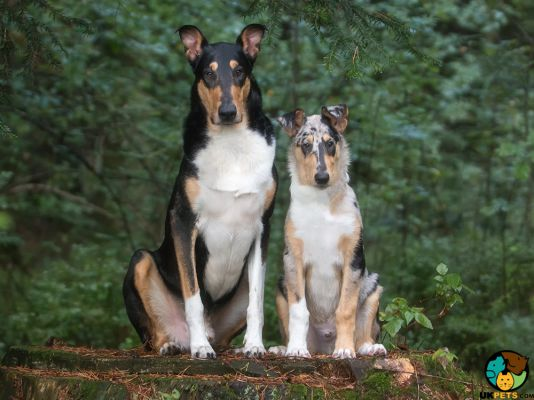 Smooth Collies in Great Britain