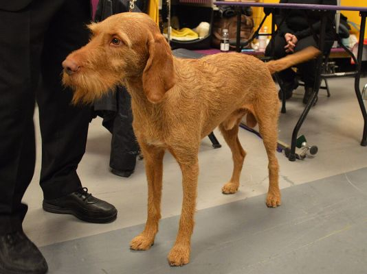 Wirehaired Vizsla in the UK