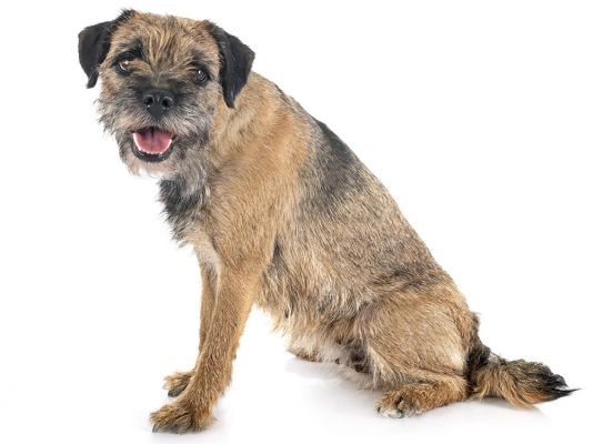 Border Terriers in the UK