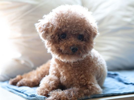 Teacup Poodles in the UK